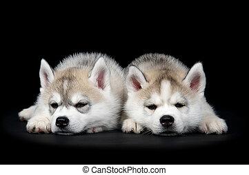 sibirischer schlittenhund, hund, junger hund