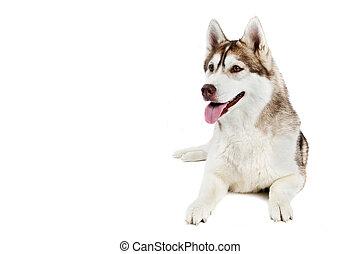 sibirischer schlittenhund, hund