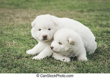 sibirischer schlittenhund, hundebabys, küssende , auf, grünes gras