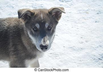 sibirischer schlittenhund, junger hund, hund