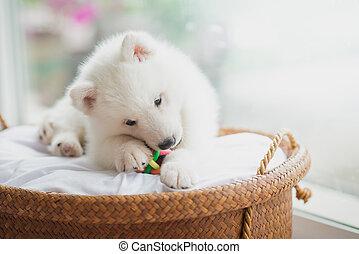sibirischer schlittenhund, junger hund, liegen, in, a, korb