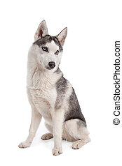 sibirischer schlittenhund, junger hund