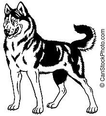 sibirischer schlittenhund, schwarz, weißes