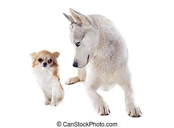 sibirischer schlittenhund, und, chihuahua