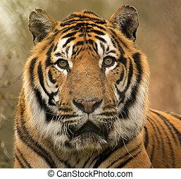 sibirisk tiger, stående