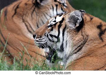 sibiriska tigrar