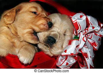 Sibling Rivalry - Golden retriever pups in a red basket.