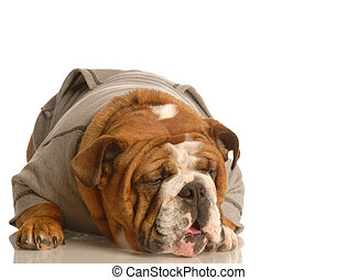 sick dog - english bulldog making funny face wearing grey ...