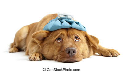Sick dog facing camera on white background