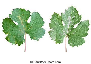 Sick grape leaf closeup isolated