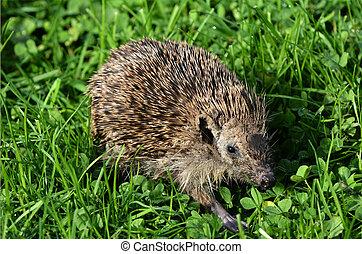 Sick Hedgehog - HAMILTON ,NZL - MAY 27 2015:Sick Hedgehog...