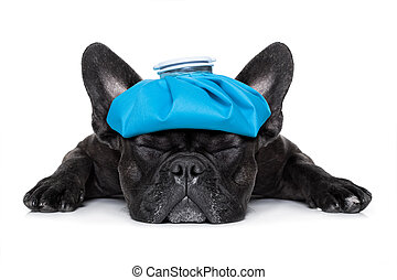 sick ill dog - french bulldog dog very sick with ice pack or...