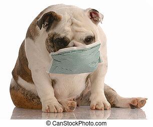 sick or contagious dog - bulldog wearing medical mask