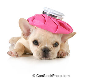 sick puppy - french bulldog with hot water bottle on head...