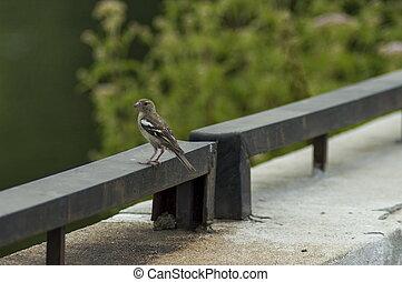 Sick sparrow bird on the fence in dam or reservoir Dushantsi at river Topolnitsa, Central Balkan mountain, Stara Planina