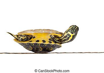 Sick turtle