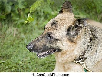 sida profil, av, tysk, sheppard, hund