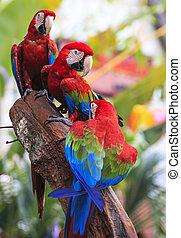 siddepinde, macaw, fugl, siddende