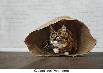 side., χαριτωμένος , κάθονται , maine , γάτα , ατενίζω , τσάντα , χαρτί , ατσίδας