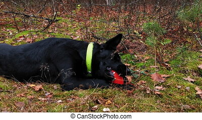Side angle footage. Cute dog trying to chew the ball in park during walk. Owner walking out her dog in the autumn forest. Autumn walk of friends. Prores 422.