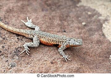 Side-blotched Lizard on a Rock