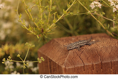 Side blotched lizard Uta stansburia
