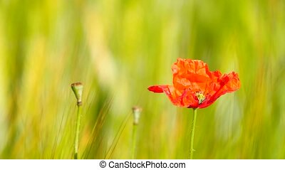 Side detail view of the red poppy flower with fresh green wheat field on a background. Flowers of red poppy in the wild field with green wheat.