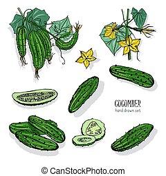 side., différent, ensemble, illustration., coloré, tranches, sommet, coupure, main, concombre, vecteur, long, vue, dessiné, branche, cuke, flowering.