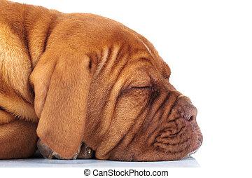 side of a sleeping puppy dog