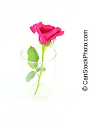 Side of pink rose in glass on white background.
