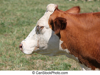 Side of the head of a cow