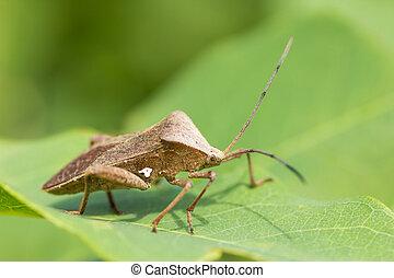 hemiptera - side of wild fly hemiptera Nezara Viridula...
