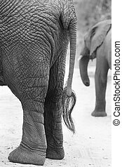 Side on view of an African Elephant rear and tail artistic conversion
