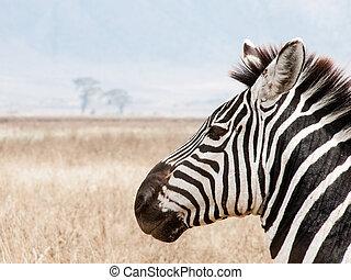 Side Portrait of a Zebra