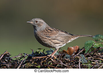 Side profile of a dunnock