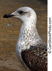 Side profile of a juvenile Yellow-Legged Gull