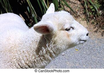 Side Profile of a Lamb