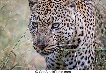 Side profile of a Leopard in the Kruger.