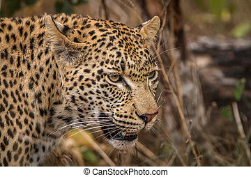 Side profile of a Leopard in the Sabi Sands.