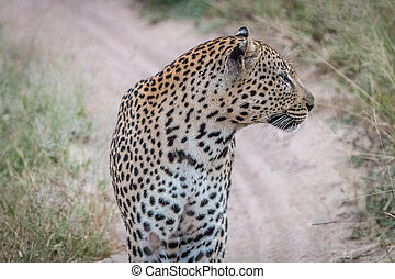 Side profile of a Leopard on the road.