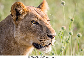 Side profile of a Lion in Chobe.