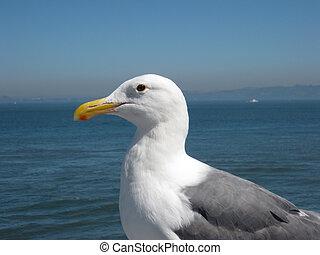 Side Profile of a Western Gull