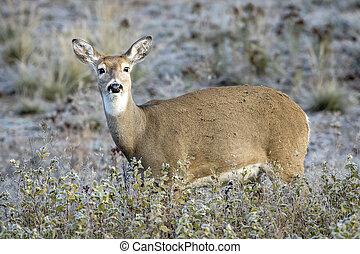 Side profile of deer in a field.
