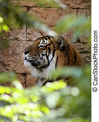 Side Profile Relaxed Tiger Face in a bush