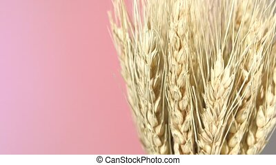 Side ripe ears of dry wheat on purple and red, rotation