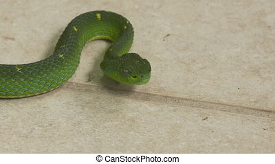 Side-Striped Palm Pit-Viper At A Zoo, Costa Rica - Extreme ...