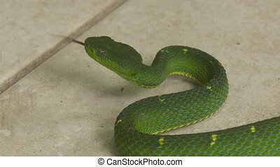 Side-Striped Pit Viper Ready To Strike, Costa Rica - Extreme...