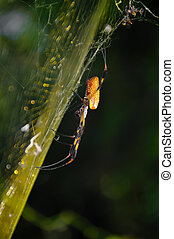 Side View Banana Spider