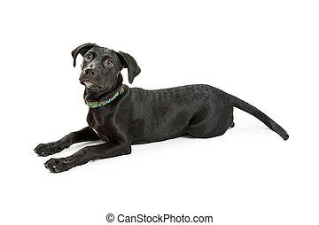 Side View Black Labrador Puppy Lying Down