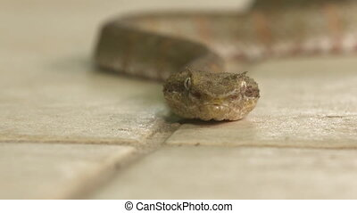 Side View |Moving Eye Lash Viper, Costa Rica, - Close-up...
